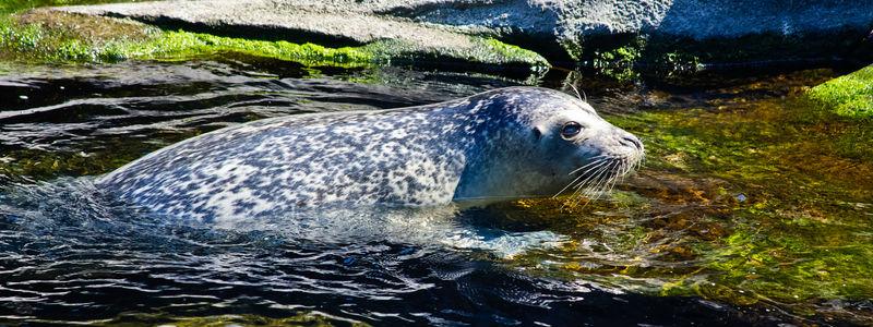 Harbor Seal at the Alaska Sealife Center