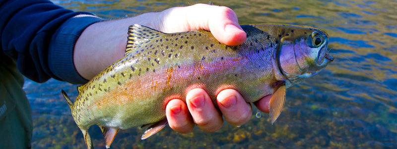 Alaska Rainbow Trout Catch & Release